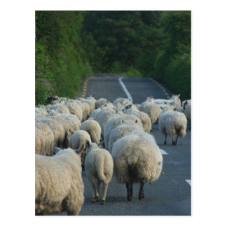 Sheeps in Ireland Postcard