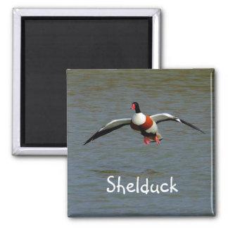 Shelduck Magnet