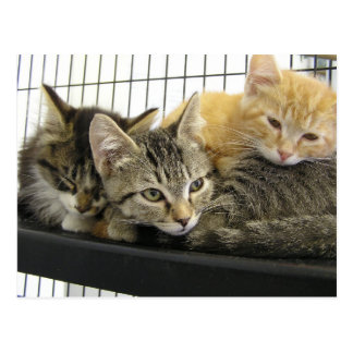 Shelter Kittens Postcard