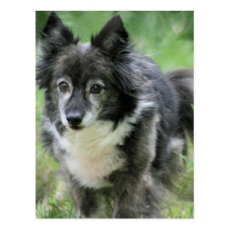 Sheltie Dog Picture Postcard
