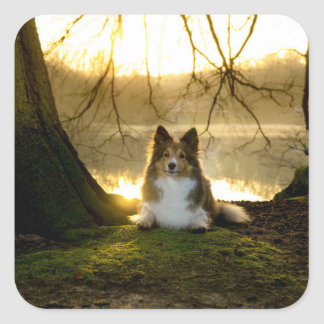 sheltie square sticker