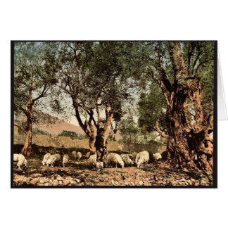 Shephard tending sheep in olive grove, Mentone, Ri Card