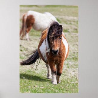 Shetland Pony, Shetland Islands, Scotland Poster
