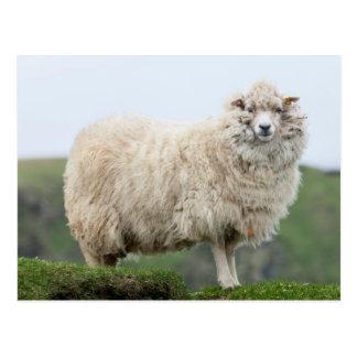 Shetland Sheep Postcard