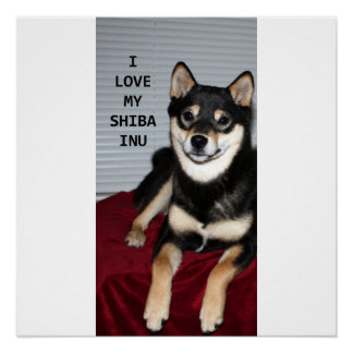 shiba full black and tan love w pic poster