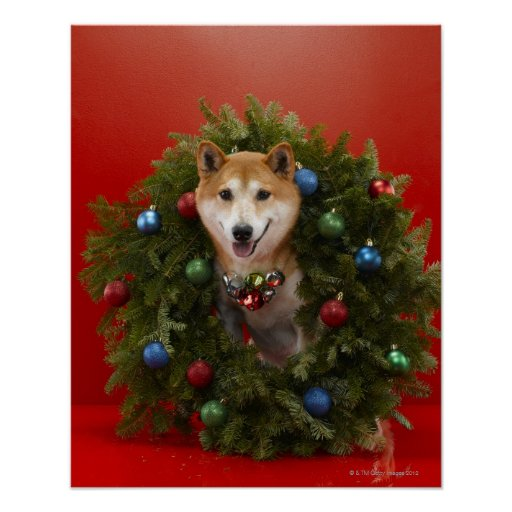 Shiba Inu dog sitting in Christmas wreath Posters
