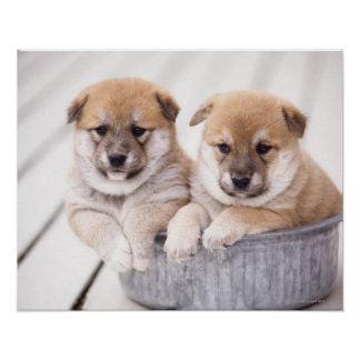 Shiba Inu puppies in aluminum tub Poster