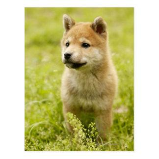 Shiba-ken puppy postcard