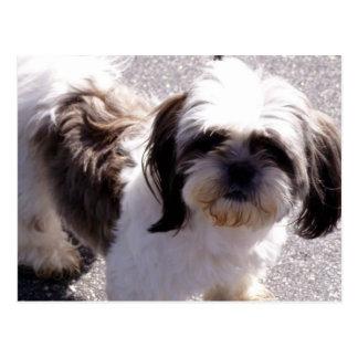 Shih Tsu Puppy Postcard