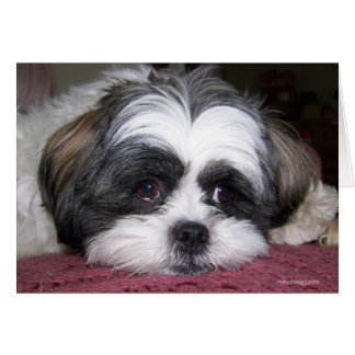 Shih Tzu Dog Card