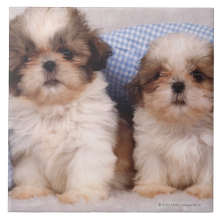 Shih Tzu puppies under a checked blanket Tiles