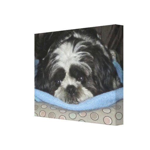 Shih Tzu Puppy Canvas Art to Warm Your Heart Stretched Canvas Prints