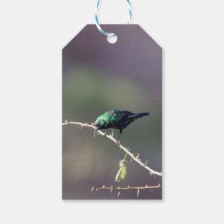 Shining Sunbird (Cinnyris habessinicus) Gift Tags
