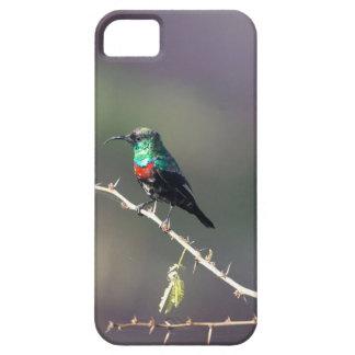 Shining Sunbird (Cinnyris habessinicus) iPhone 5 Cover
