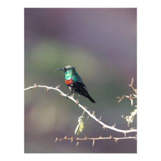 Shining Sunbird (Cinnyris habessinicus) Letterhead
