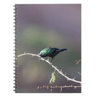 Shining Sunbird (Cinnyris habessinicus) Notebook