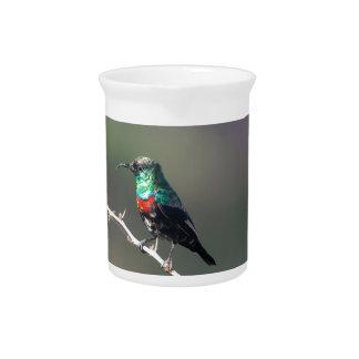 Shining Sunbird (Cinnyris habessinicus) Pitcher