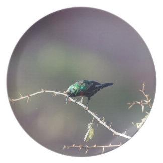 Shining Sunbird (Cinnyris habessinicus) Plate