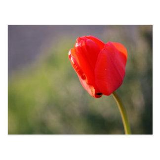 Shiny Red Tulip Postcard