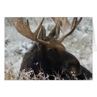 Shiras Bull Moose 2 Card