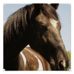Shire Draught   Horse Poster Print