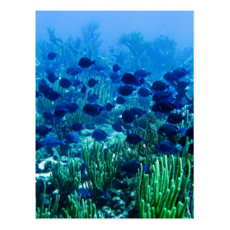 Shoal of Blue Discus Fish Postcard