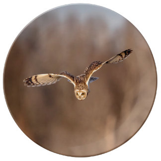 Short-eared owl diving towards the ground plate