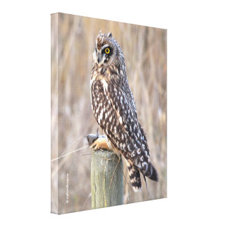 Short-Eared Owl with Vole Canvas Print