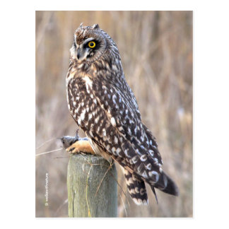 Short-Eared Owl with Vole Postcard