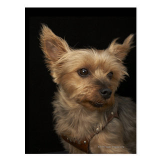 Short haired Yorkie dog looking to the right Postcard
