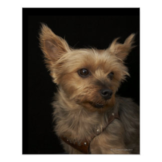 Short haired Yorkie dog looking to the right Poster