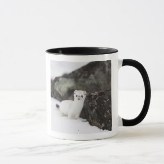 Short-tailed weasel hunting for voles mug