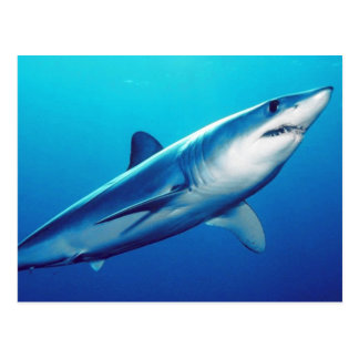 Shortfin Mako Shark Postcard