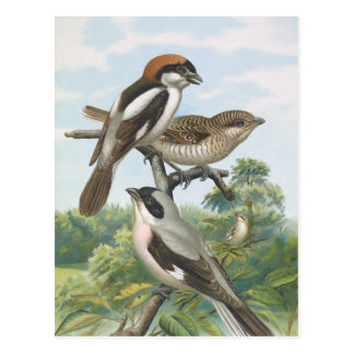 Shrikes Vintage Bird Illustration Postcard