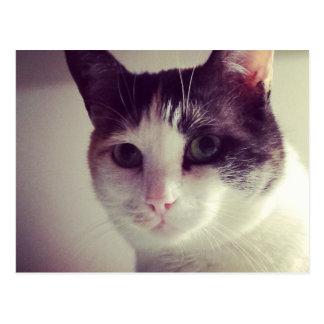 Shy kitty cat postcard