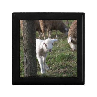 Shy lamb gift box