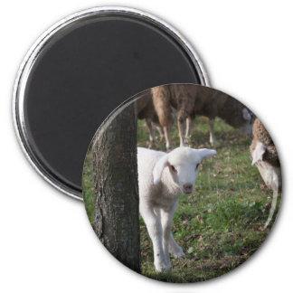 Shy lamb magnet