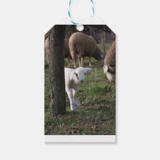 Shy lamb pack of gift tags