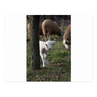 Shy lamb postcard