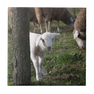 Shy lamb tile