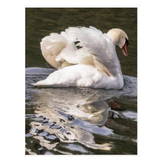 Shy Swan Postcard