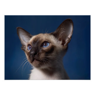 Siamese Cat with Blue Eyes Poster