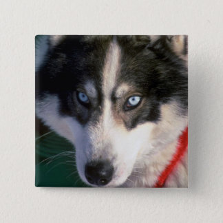 Siberian Husky 2 Inch Square Button