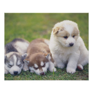 Siberian Husky; A working dog breed that Poster