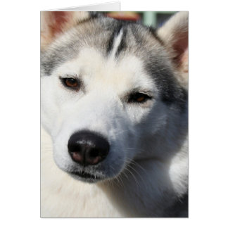 Siberian Husky Dog Greeting Card