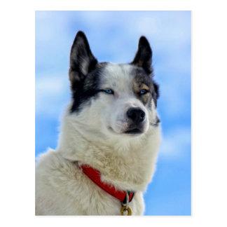 Siberian husky portrait postcard