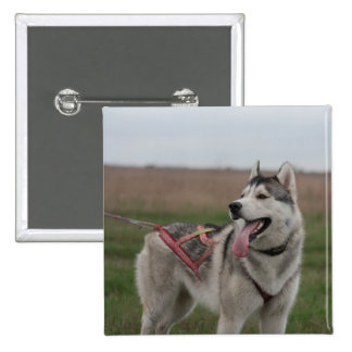 Siberian Husky sled dog 2 Inch Square Button
