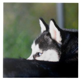 Siberian Husky Tile