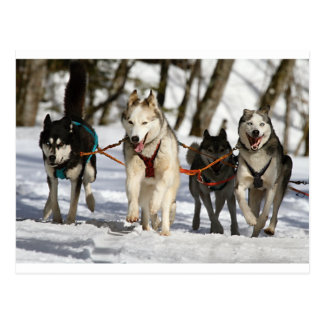 siberian husky working group postcard
