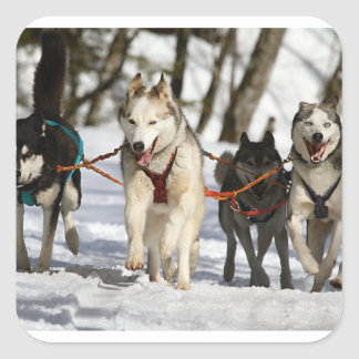 siberian husky working group square sticker